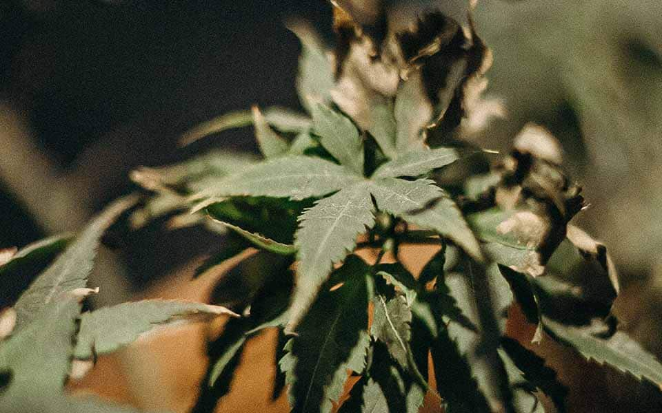 how to buy good weed finding quality in cannabis